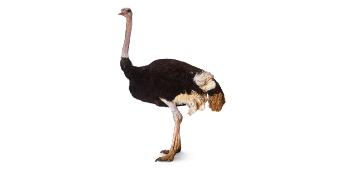 The average minimum running speed of an ostrich is around 30 to 31 miles per hour, and they can