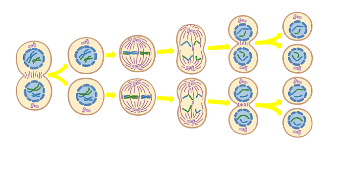 Meiosis is the means in which sex cells called gametes divide. Meiosis one is the first stage of
