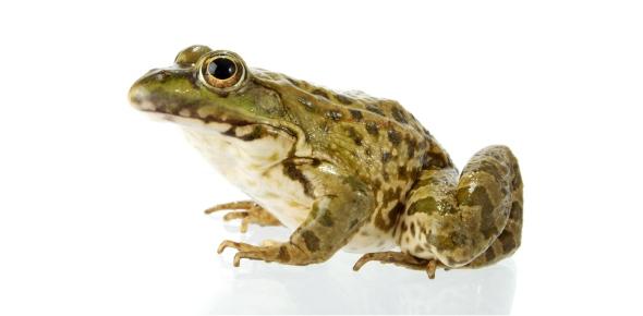 How many eggs do frog's lay?