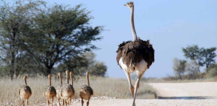 Ostriches are no longer in India, although they can survive in India if you can take care of them