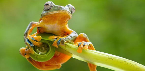 How do amphibians reproduce?