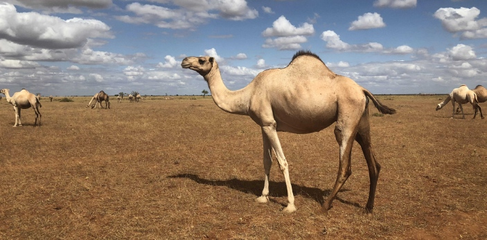 Camels have bushy eyebrows to keep sand from blowing in their eyes. In addition to their bushy