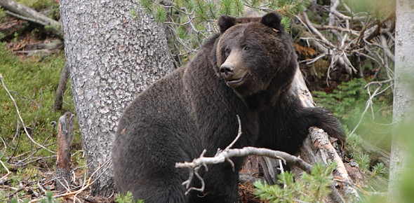 Which part of the country are bears mostly found in?