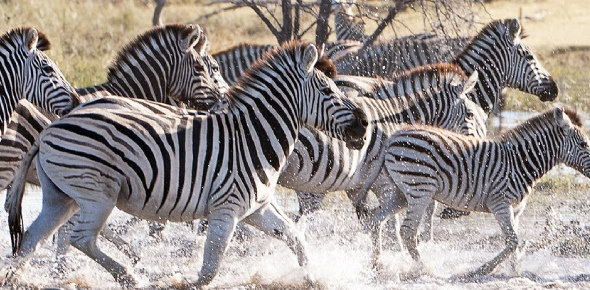 Zebras and horses belong to the same Equidae family of the genus Equus. However, these two do not