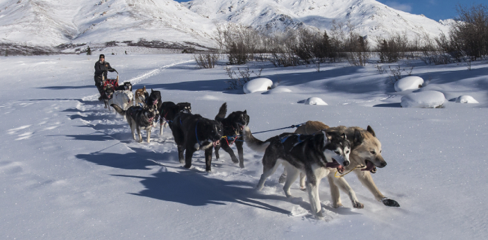 A general term used for sled dogs is husky. So, it might look similar, but it is a different animal