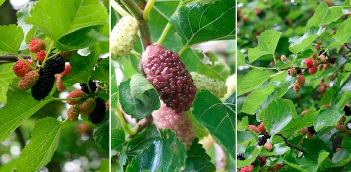 Red and white mulberries are known to be different from each other. Some people assume that