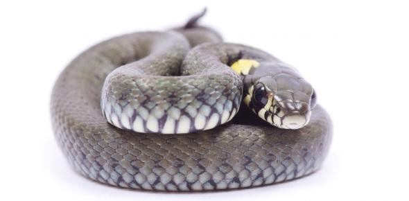 Do snakes possess ears?