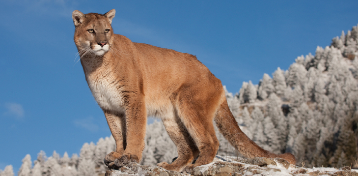Cougars and mountain lions are both animals that belong to the Felidae family. These two names are