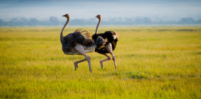 Ostriches are mostly found in Africa, and there are about five different species of them. They