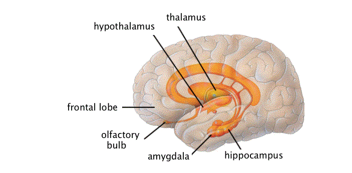 Some people may assume that the thalamus and the hypothalamus are the same because of their names.