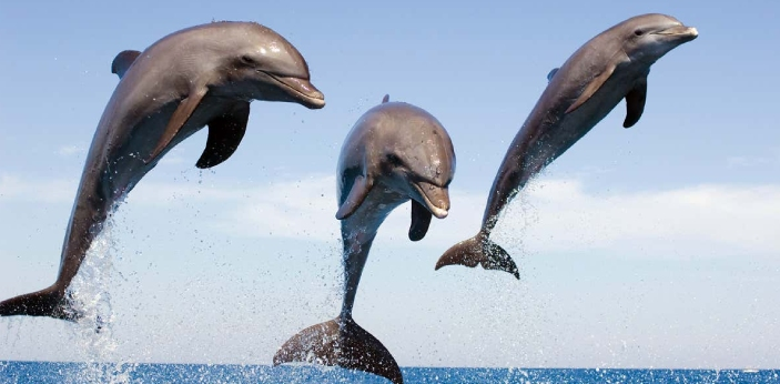 Dolphin's are one of the smartest animals in the world they are known to teach each other,