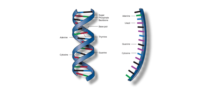 The main difference is the type of sugar that can be found in the DNA and the RNA. The sugar in DNA