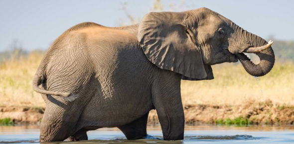 The African elephant is without a doubt, the king of all giant land animals now, and that is