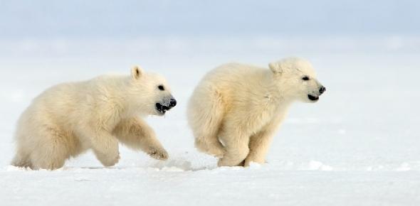 Are polar bears on endangered species list?