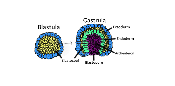 Both Blastula and Gastrula represent different stages of embryo formation during the process of