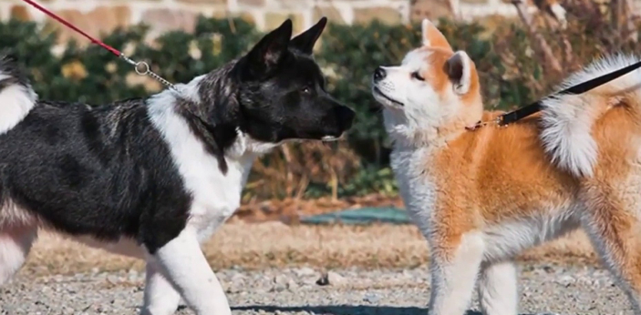 Akita inu and American Akita are two different dogs that people think are the same because of the