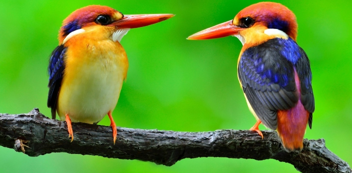 No, chirping by birds is not only a mating call. Birds chirp to indicate danger, warning and