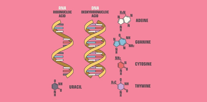 Two types of non-coding RNA that are included in gene regulation are MiRNA and SiRNA. Both are