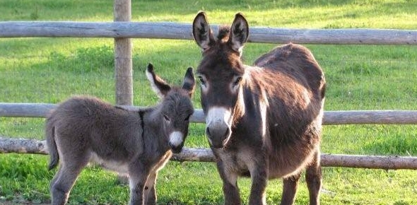 Why are donkeys considered as dumb animals?