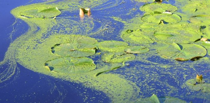 There are a lot of differences between cyanobacteria and green algae. Cyanobacteria are prokaryotic