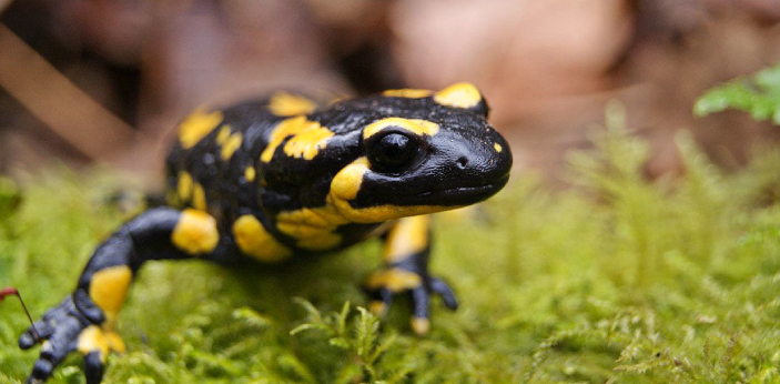 Salamanders can regrow new tissue to replace entire limbs and regenerate parts of their major