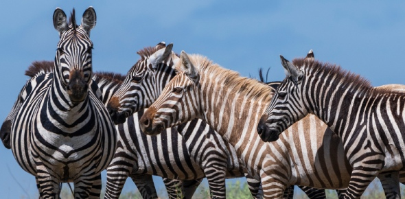 Have you ever wondered why people do not ride zebras even though they are similar to horses? You