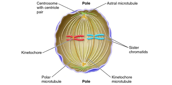 What is the function of the structure called centrioles?