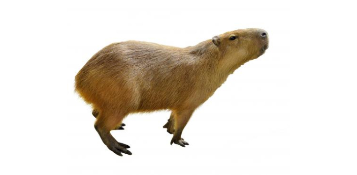 Capybaras are exceptionally social animals who frequently live in groups of 10-20. This adorable