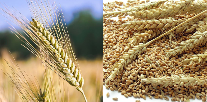 Wheat is a cereal grass which is often processed into flour and used for baking. Rye is also a
