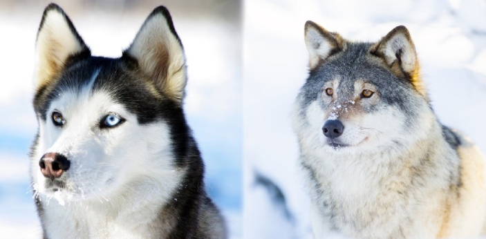 A wolf and a Husky may seem the same but there are some differences between the two animals.