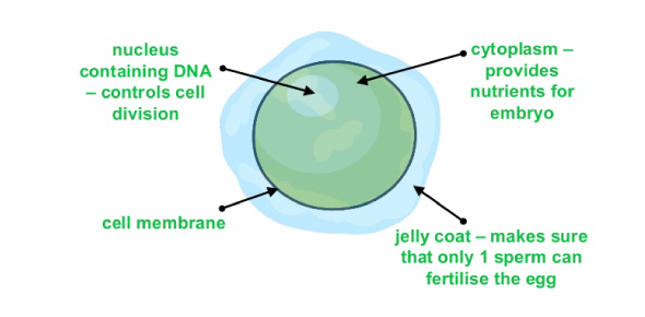 female sex cells are called