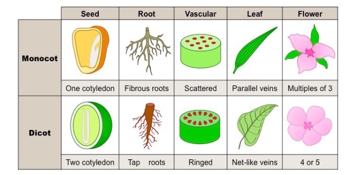 Monocots and dicots are known to be flowering plants that have some differences. Monocots are known