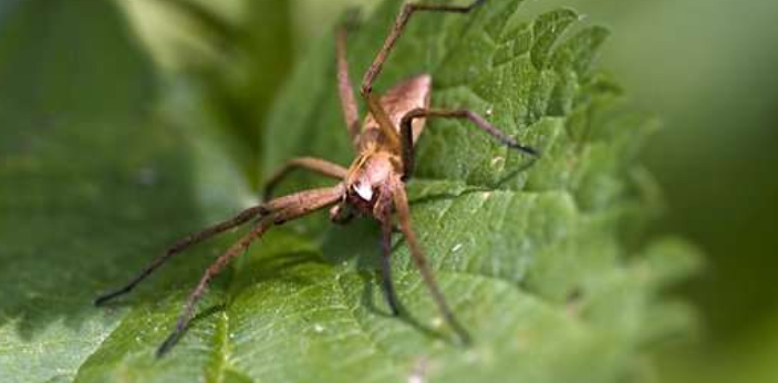 Here are a few ways by which you can identify a nursery web spider based on its physical traits,