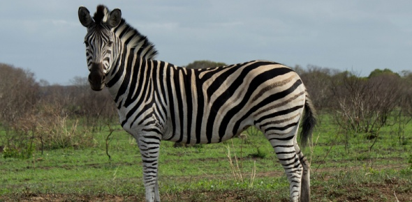 No, zebras are not faster than horses. This is probably one of the reasons why people never