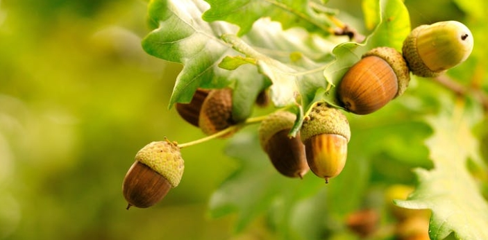 Acorns are an outstanding source of food that they are filled with protein, little fat, B vitamins,