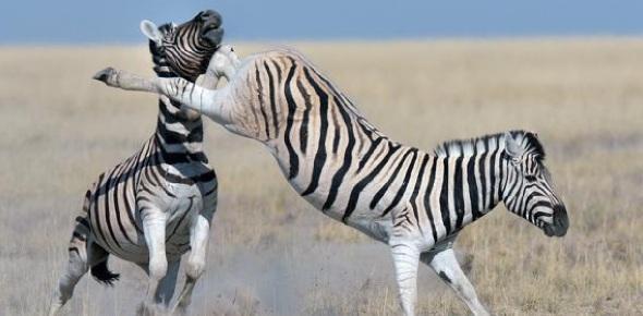 How do zebras defend themselves against predators?