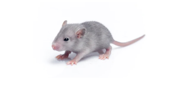Have you ever wondered what a baby rat is called? This is something that people can become curious
