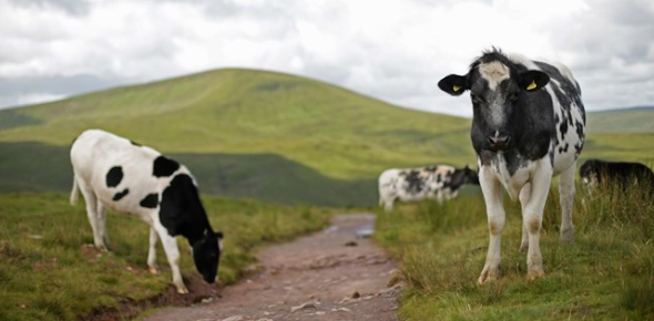 It will be difficult to give an exact figure for the total number of cows in the world. There's