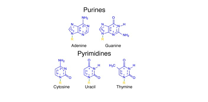 Purines and Pyrimidines have both similarities and differences. They share some similarities on the