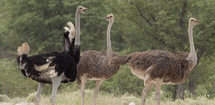 Ostriches are very fast when running. In fact, they are the fastest land birds, being able to run
