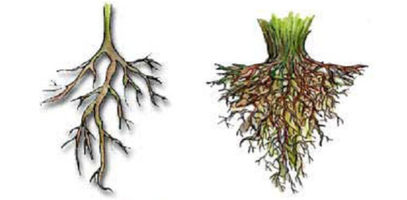 What is the difference between fibrous roots and tap roots?