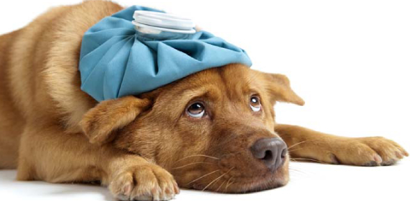 Can dog illness be passed onto humans?