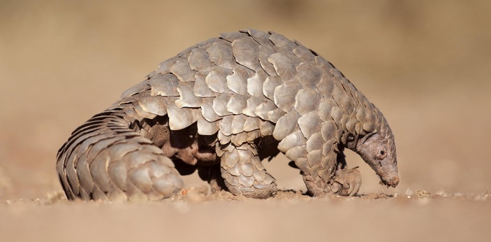 The correct answer to this question is their scales. Many people have never even heard of pangolins