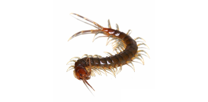 Centipedes are anthropods. They are elongated creatures with one pair of legs per body segment.