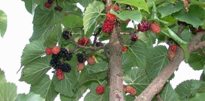 Many think the only difference in white and red mulberry is the colors of the fruits. But there are