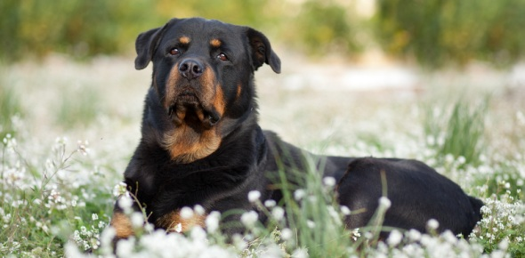 Are rottweilers a good breed to own for a first-time dog owner?