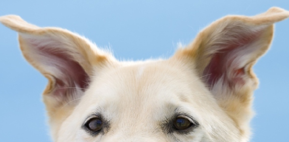 How can I dry water from dogs ears?