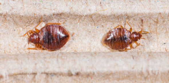 Bed bug is a flat oval shaped insect. They are mostly brown in color. Adult bed bug is about 4 -