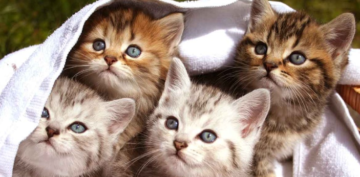 A kitten is the baby cat, while the cat is the adult version of the kitten. There are a lot of