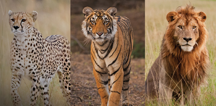 Predatory animals have social traits and behaviors that we admire and value and that is why many